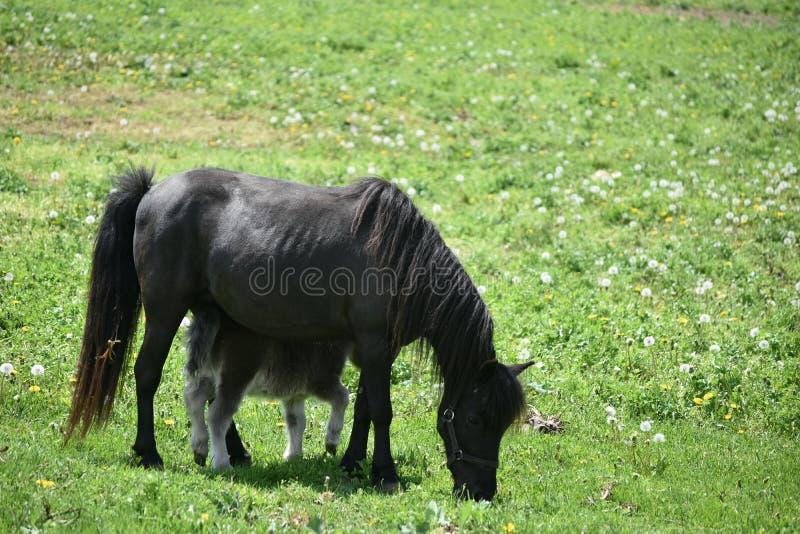 Zwart Miniatuurpaardmerrie en Veulen op een Groot Gebied stock foto's