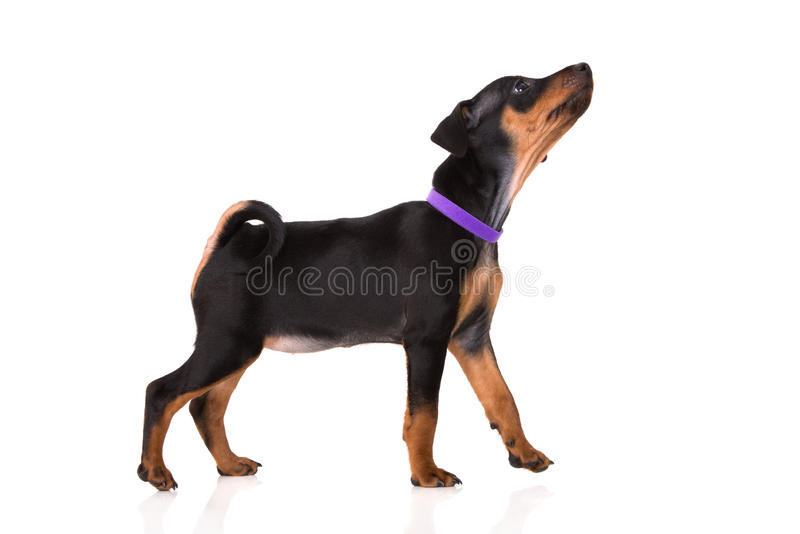 Zwart miniatuurpinscherpuppy royalty-vrije stock foto
