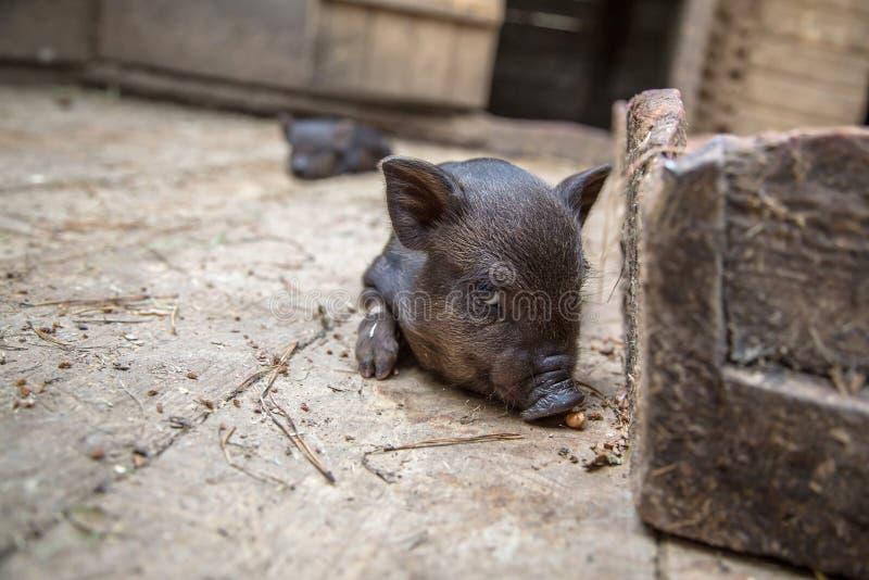 Zwart minivarken van het Vietnamese ras op varkenskot stock foto