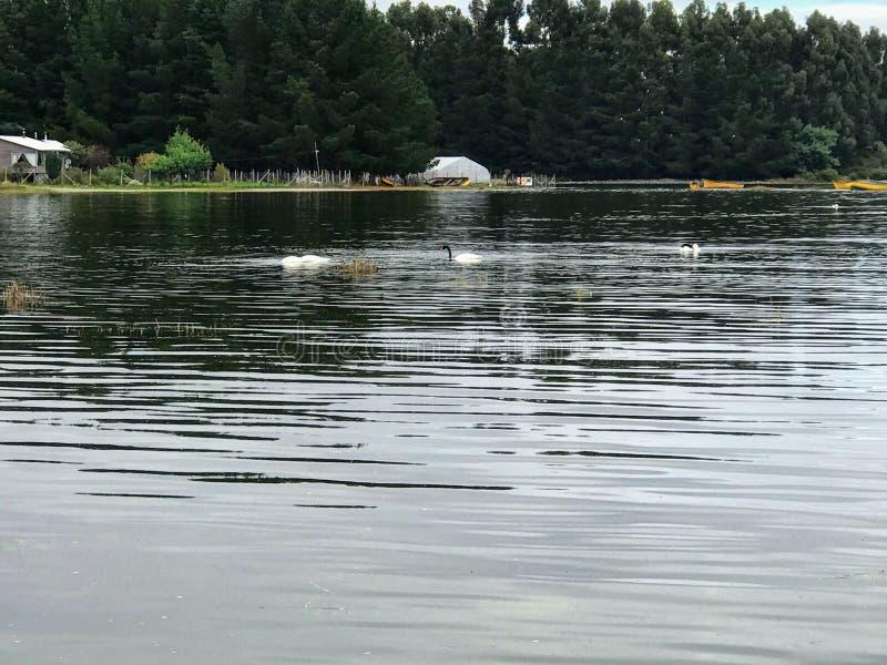 Zwart-necked zwaan in het overzees stock foto