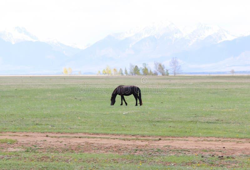Zwart paard royalty-vrije stock fotografie