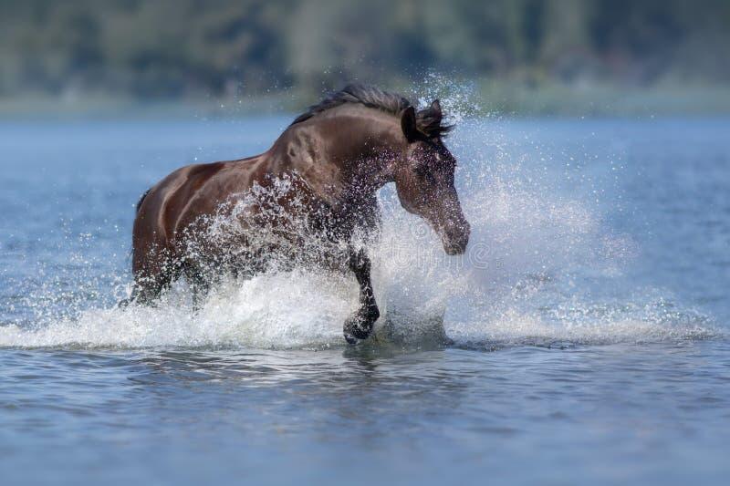 Zwart paard in plons van water stock afbeeldingen