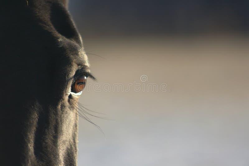 Zwart paardoog stock afbeelding