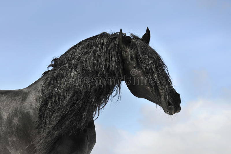 Zwart paardportret, friesian hengst royalty-vrije stock foto's