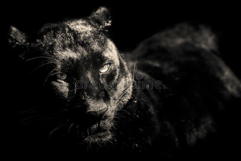 Zwart panter zwart-wit portret royalty-vrije stock fotografie
