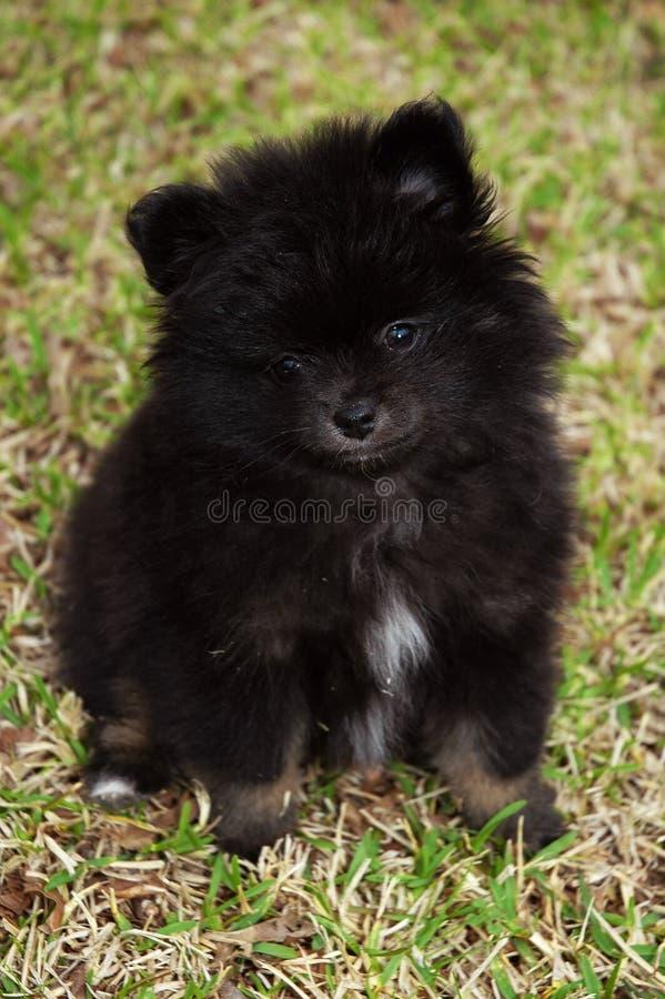 Zwart Puppy Pomeranian stock afbeeldingen