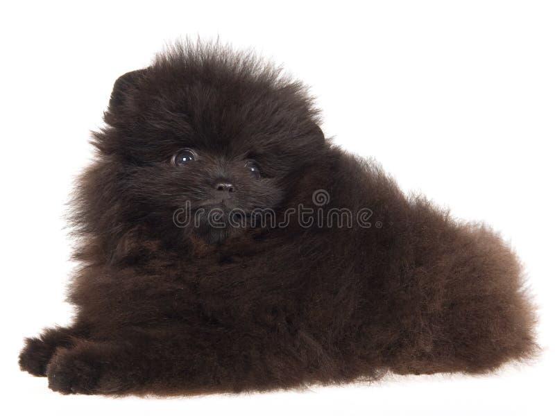 Zwart puppy Pomeranian op witte achtergrond royalty-vrije stock foto's