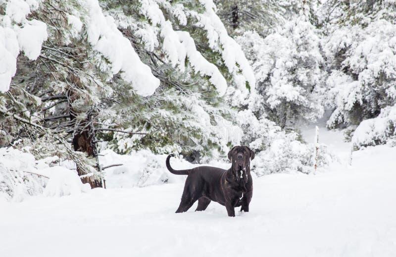Zwart puppy in sneeuwaard stock afbeeldingen