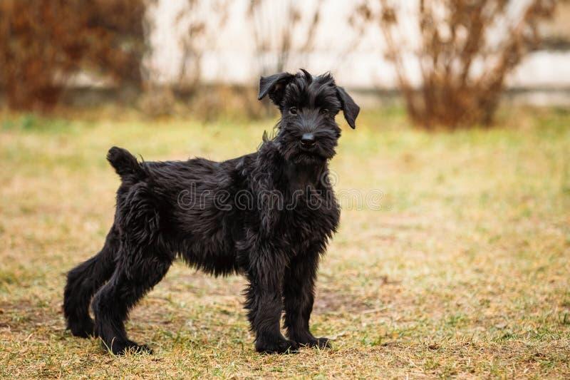 Zwart puppy van Reuzeschnauzer-hond stock fotografie