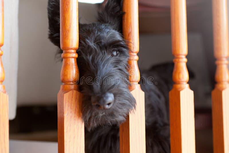 Zwart Schots Terrier die door trapposten kijken stock foto's