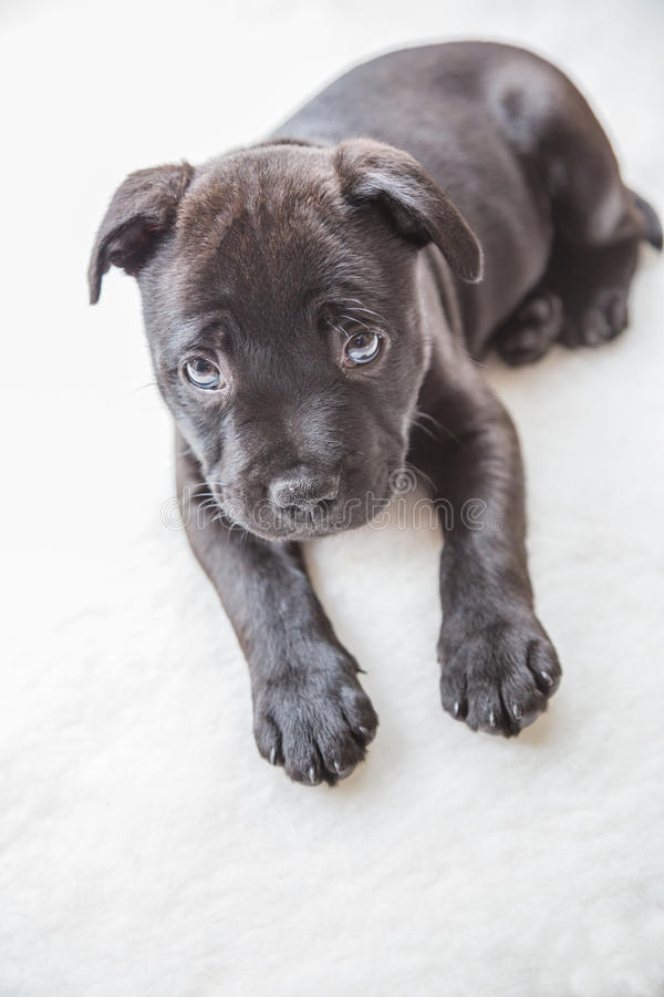 Zwart staffordshire bull terrier puppy stock foto's