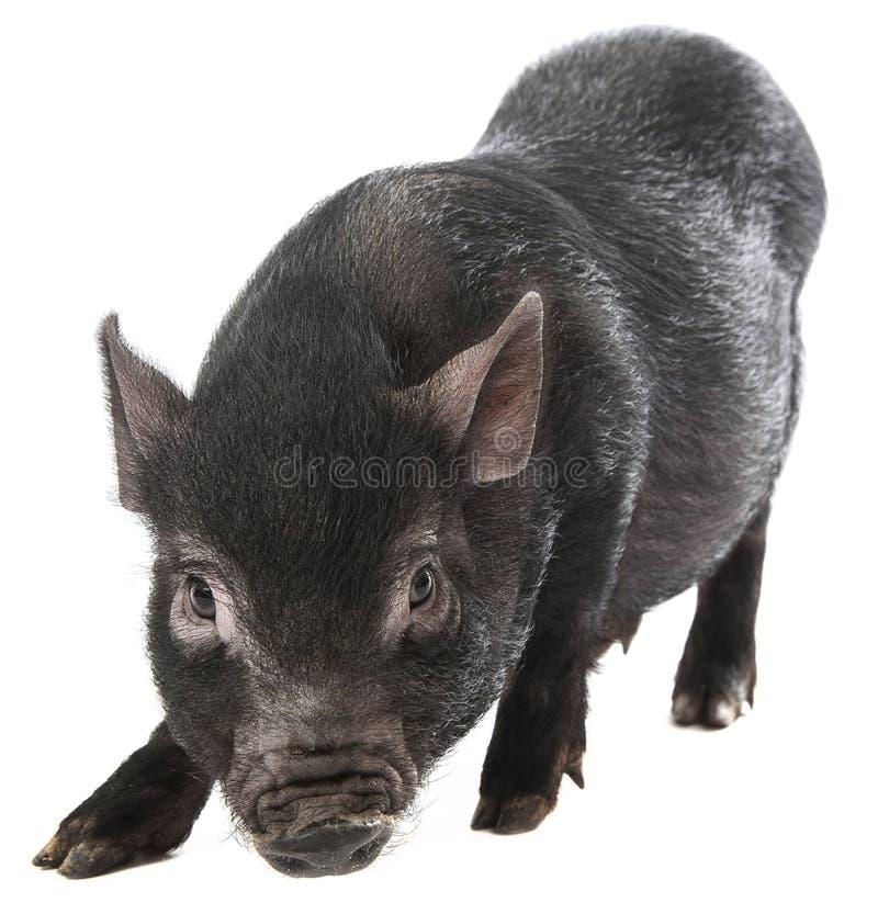 Zwart varken royalty-vrije stock fotografie