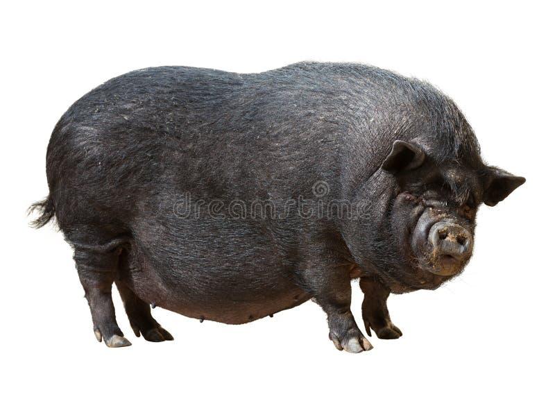 Zwart varken over wit stock afbeelding