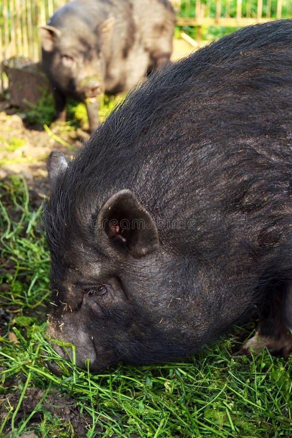 Zwart Vietnamees varken op boerderij stock fotografie
