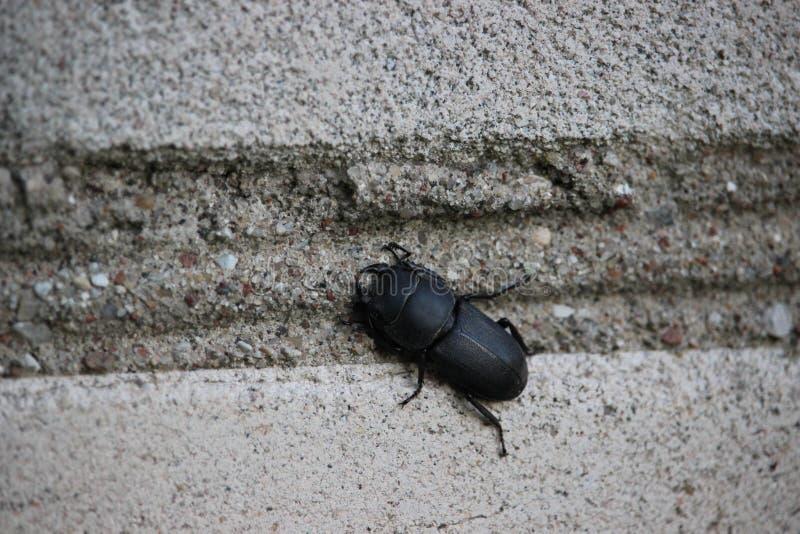 Zwart volwassen insect Kleinere zitting van de mannetjeskever op een bakstenen muur royalty-vrije stock fotografie