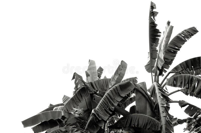 Zwart-wit banaanblad, groene tropische die gebladertetextuur op witte achtergrond van dossier met het Knippen van Weg wordt geïso royalty-vrije stock fotografie