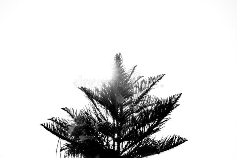 Zwart-wit Beeld - de zonstralen op de bovenkant van de boom op witte achtergrond royalty-vrije stock fotografie