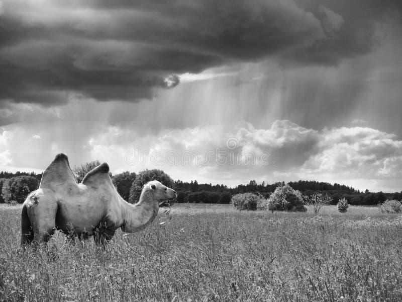 Zwart-wit beeld eenzame kameel die zich op een gebied bevinden en gras op een achtergrond van bos en hemel eten royalty-vrije stock afbeeldingen