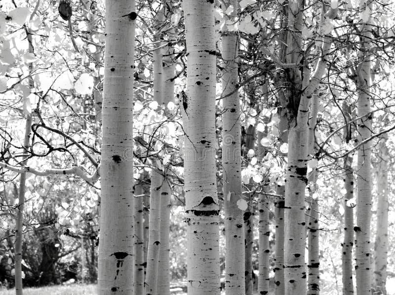 Zwart-wit beeld van de bomen van de Esp stock foto's