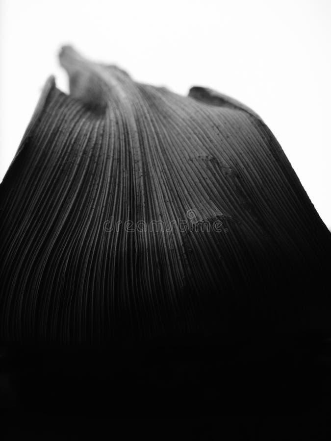 Zwart-wit beeld van een blad met grijs aan zwarte overgang op een witte achtergrond royalty-vrije stock foto