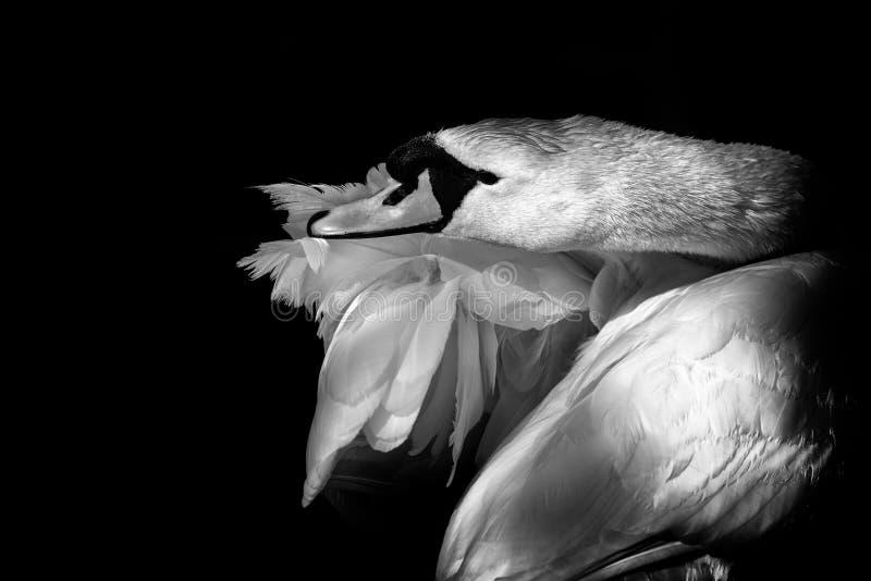 Zwart-wit Beeld van een een Zwaan` s Hoofd, Hals en Vleugels stock fotografie