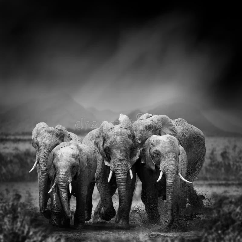 Zwart-wit beeld van een olifant stock foto