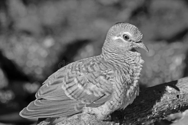 Zwart-wit beeld van gestreepte duif in het licht royalty-vrije stock afbeelding