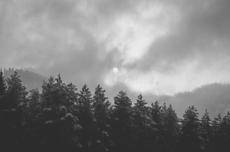 Zwart-wit beeld van het mistige bos van de pijnboomboom de zon dat stock fotografie