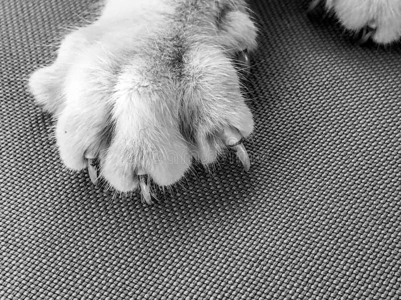 Zwart-wit beeld van kattenpoten met uitgebreide klauwen royalty-vrije stock foto's