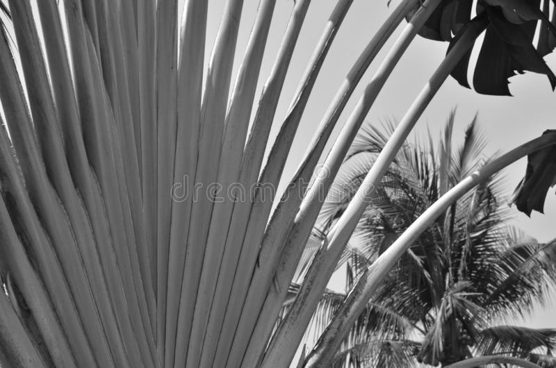 Zwart-wit beeld van mooie takken van palm stock foto's