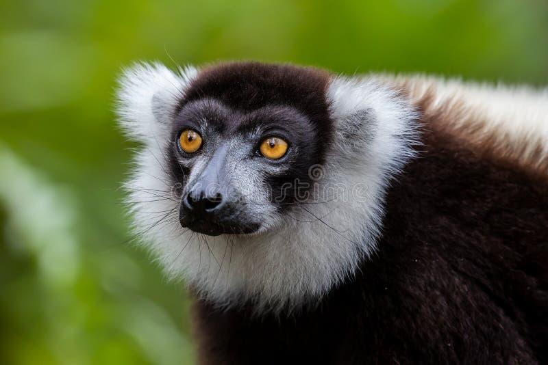 Zwart-wit-geharde citroenvariegata, Andasibe Reserve, Madagaskar stock afbeelding