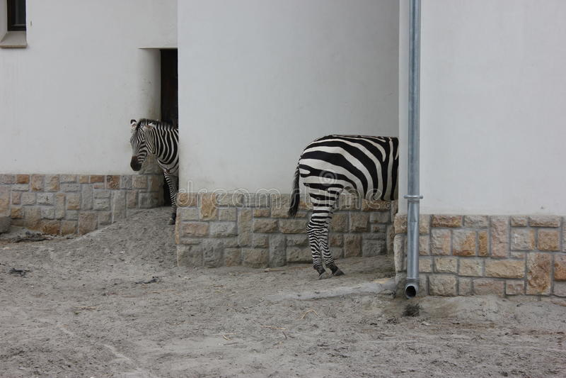 Zwart-wit - grappige zebras stock foto's