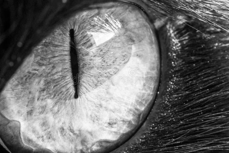 Zwart-wit kattenoog royalty-vrije stock fotografie