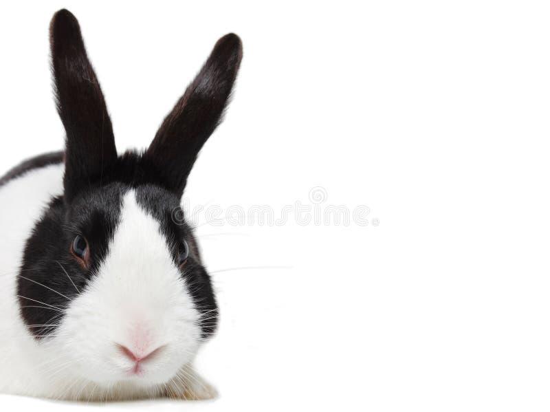 Zwart-wit konijn, Nederlands ras royalty-vrije stock afbeelding