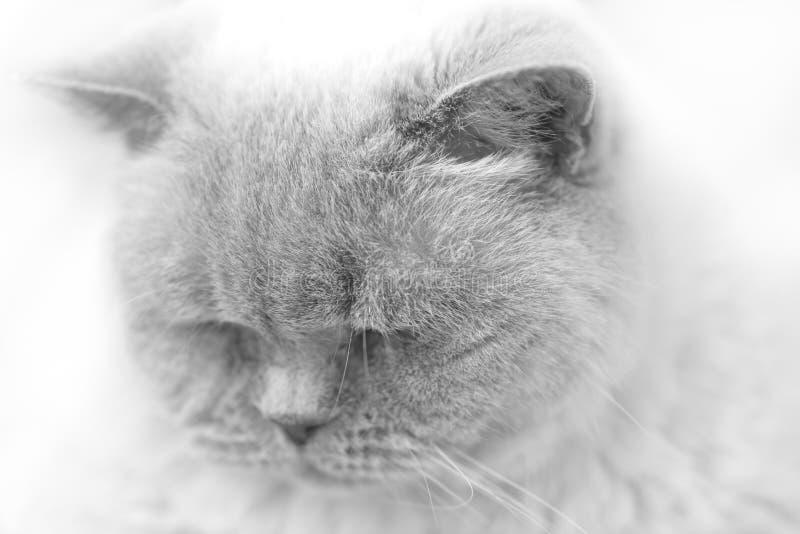 Zwart-wit Portret van Britse Korte Haarkat stock foto's