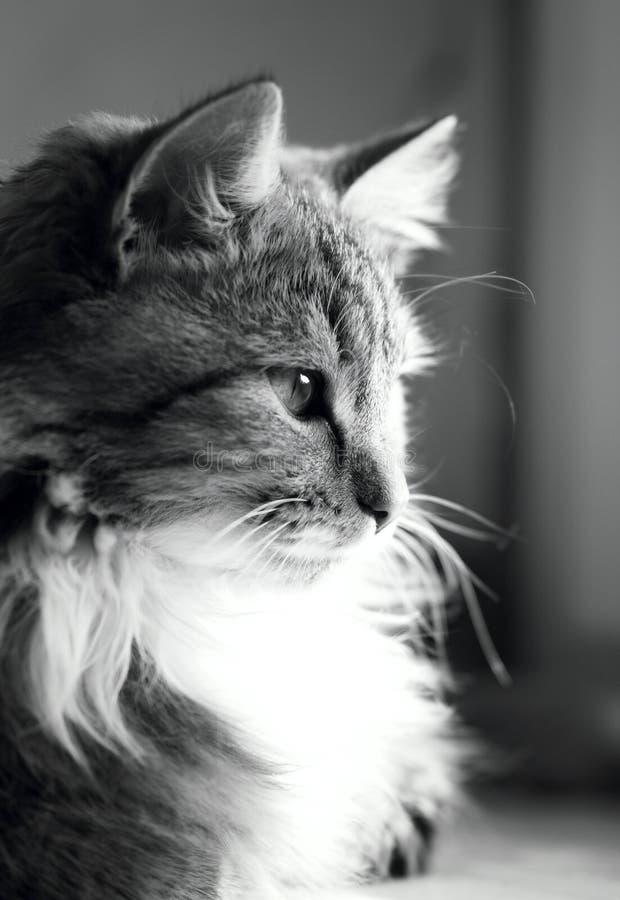 Zwart-wit portret van een kat op een venstervensterbank stock foto