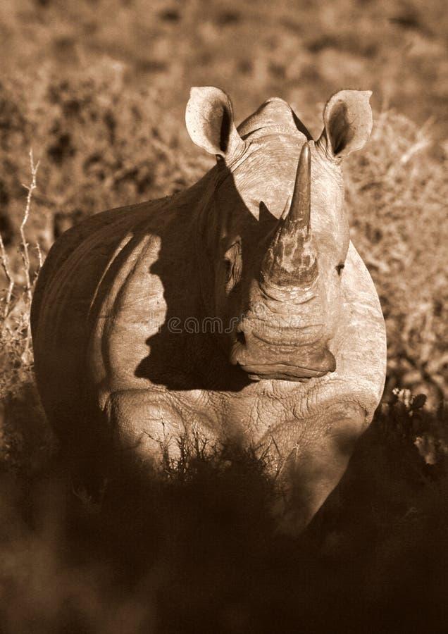 Zwart-wit portret van witte rinoceros royalty-vrije stock foto's