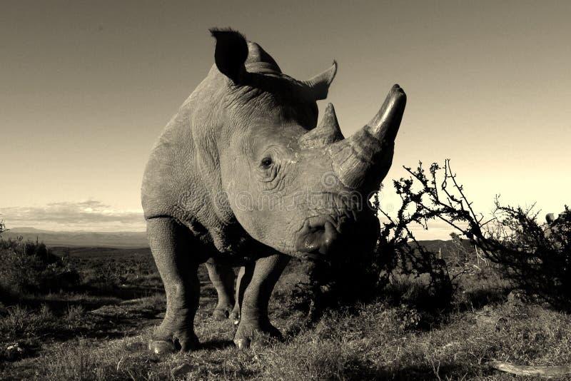 Zwart-wit portret van witte rinoceros stock foto