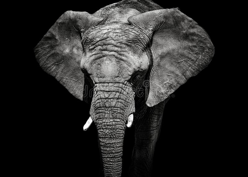 Zwart-wit portretolifant stock foto's