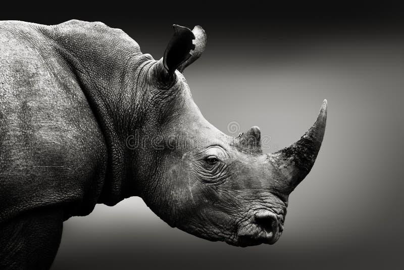 Zwart-wit rinocerosportret stock afbeeldingen