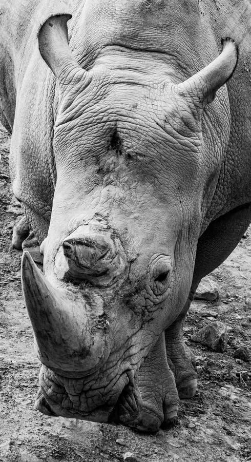 Zwart-wit rinocerosportret royalty-vrije stock foto's