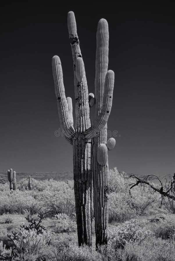 Zwart-wit saguaros royalty-vrije stock fotografie
