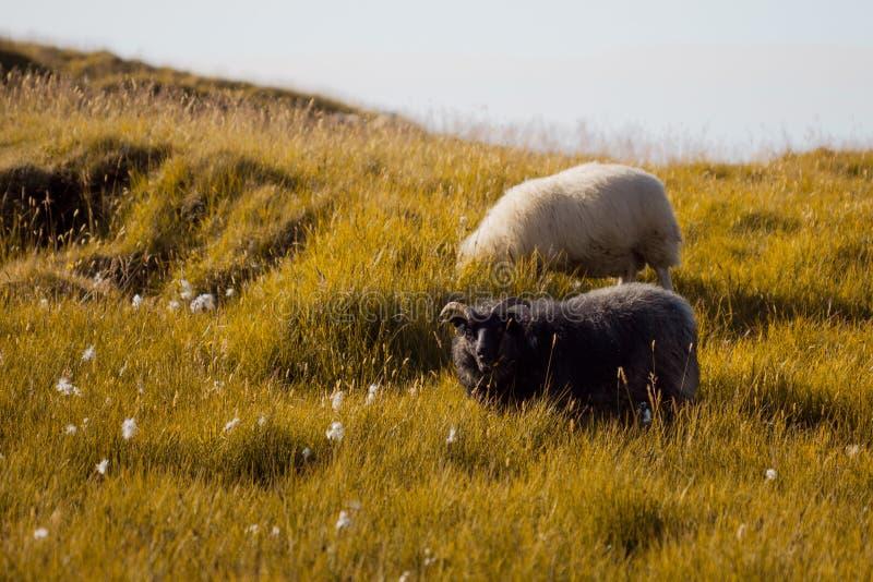 Zwart-wit schapen het kauwen gras, het wild IJsland royalty-vrije stock afbeelding