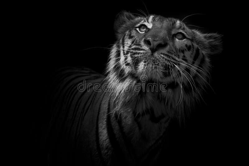 Zwart-wit Tijgerportret voor zwarte achtergrond stock fotografie