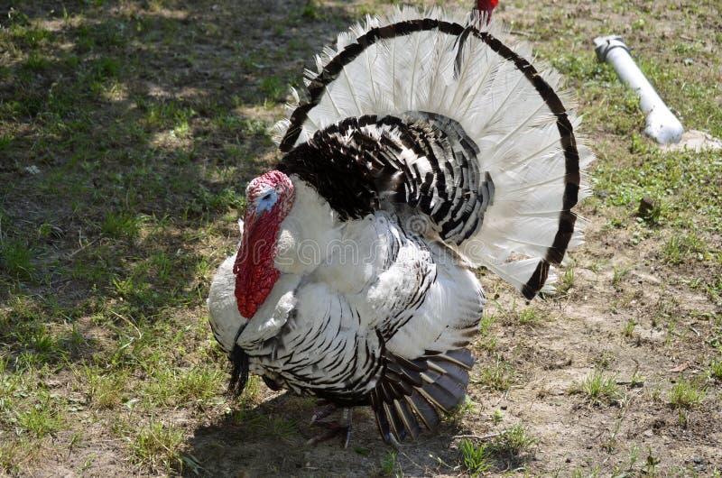 Zwart-wit Turkije stock foto