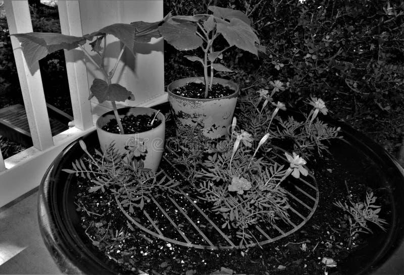 Zwart-wit van Goudsbloemen en Andere Installaties stock afbeelding