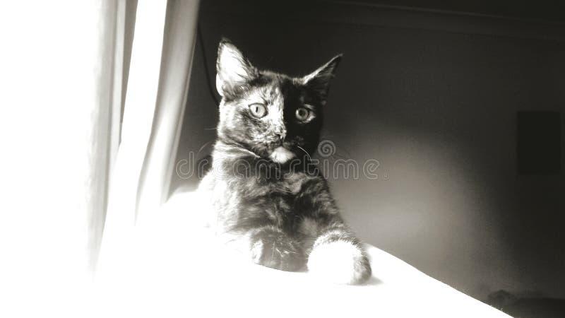 Zwart-wit van kat stock afbeelding