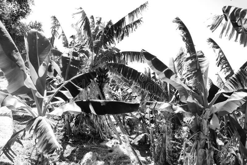 Zwart-wit zwart-witte foto van een banaanbosje royalty-vrije stock fotografie