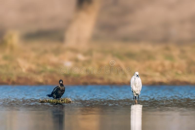 Zwart-witte Aalscholver en Aigrette stock foto