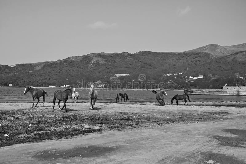 Zwart-witte artistieke foto van paarden op de kust van het Japanse Overzees stock foto